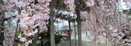 Sakura, Salju, Saori, Shinsaibashi dan Sempa