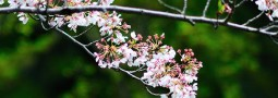 Jadwal Sakura Mekar di Jepang 2016